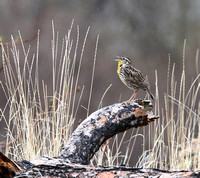 Vasuex Lake meadowlark