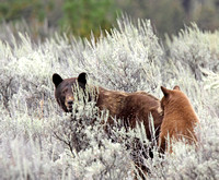 Cinammon bear with its reddish cub in the sagebrush (Sheep Creek Rd.)