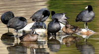 pair of Blue-winged Teal with coots