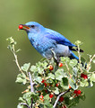 male Mountain Bluebird eating waxy currant berry
