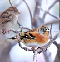 Brambling, non-breeding male