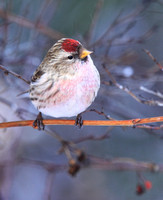Finches: Crossbills, Siskins, and Redpolls