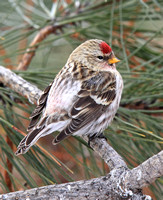 rump of Common Redpoll