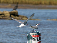 Common Terns in a confrontation