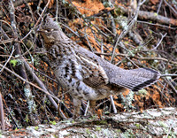 female Ruffed Grouse, the male was not far away