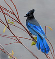beautiful blue Steller's Jay