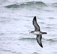 more diagnostic view of the Pink-footed Shearwater