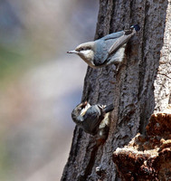one nuthatch passed a seed to the other