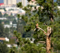 Kestrel on a probable nest tree with Penticton in the background