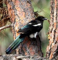 Magpie molting