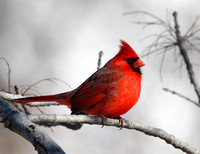 Orioles, Grosbeaks and Cardinal