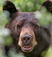 A Heart-stopping close encounter with a Black Bear