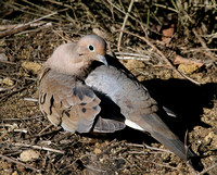 Mourning Dove preening