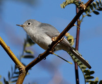 female Blue-gray Gnatcatcher