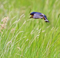 Barn Swallow flying low over the field