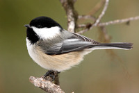 Beautiful Black-capped Chicakdee