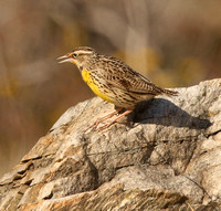 female meadowlark