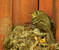 Pacific-slope Flycatcher at her nest