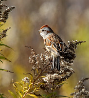 American Tree Sparrow in goldenrod
