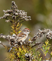 tree sparrow in goldenrod