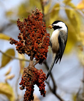 Black-capped Chickadee finding a grub in the sumac