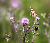Painted Lady on Canada Thistle