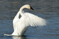 Tundra Swan in mid-flap