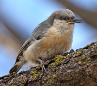 young Pygmy Nuthatch