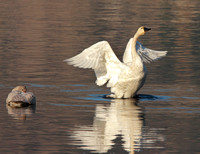 Tundra Swan flapping with immature swan to left