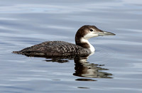Common Loon in basic plumage