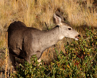 Mule Deer foraging on buckbrush