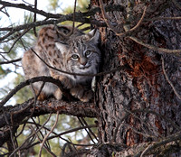 young Bobcat in winter