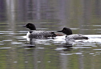 Common Loon pair with one chick
