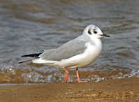 Bonaparte's Gull in transition plumage