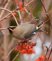 Bohemian Waxwing in mountain ash