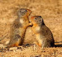 Columbian Ground Squirrel pair