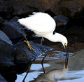 Snowy Egret (Egretta thula) fishing at boat launch