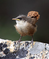 Canyon Wren fledgling