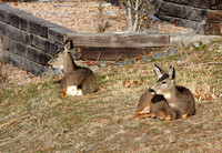 Suburban Deer resting on a lawn in Penticton