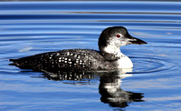 Pre-basic Common Loon
