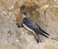 Bank Swallow at nest hole in the colony