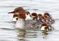 Mama Merganser and her flotilla