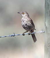 Sage Thrasher (one of a pair, hard to tell them apart!)