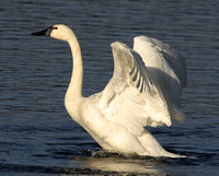 adult Tundra Swan flapping
