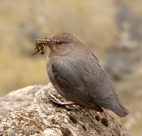 Am. Dipper building a nest with moss