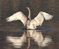 young Tundra Swan flapping its wings