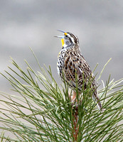 White Lake Meadowlark