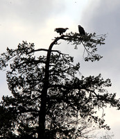 eagle pair on their eating platform next to the marina