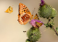 This is one busy flower Great Spangled Fritillary