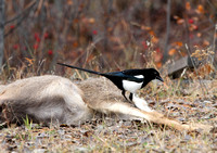 Magpie inspecting a mule deer carcass